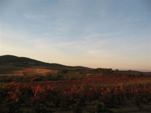 Russet vines in the Roussillon